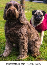 cockapoo dog and a pug are the best of friends