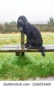 Cockapoo Dog in the rain.