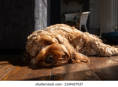 Cockapoo dog relaxing on wooden floor in the sun light