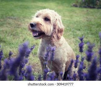A Cockapoo dog sitting behind a lavender bush looking in the distance