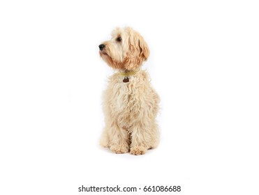 Cockapoo dog sitting on a white background
