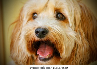 Cockapoo Dog smiling and happy