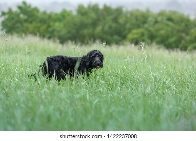 Cockapoo Dog in a wet field searching through long grass.
