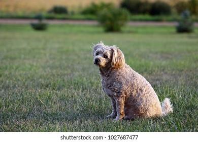 Cockapoo on the grass