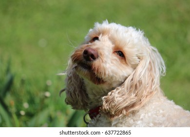 Cockapoo posing for his photograph