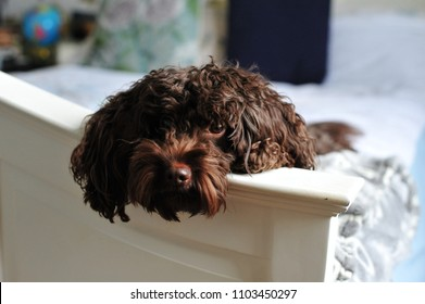 A Cockapoo puppy