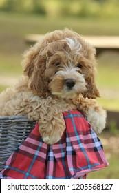 Cockapoo puppy in a basket