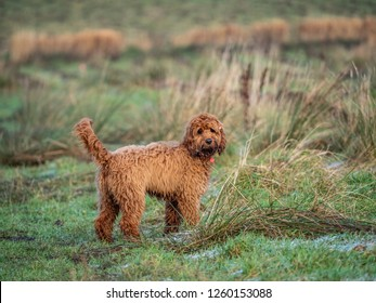 A cockapoo puppy exploring a frosty field durign a morning walk