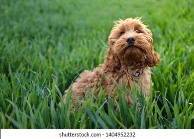 Cockapoo Puppy In Long Blade Grass
