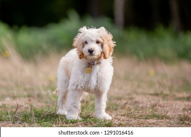 A cockapoo puppy standing in a field. A cockerpoo puppy wearing a collar with curly fur and big ears in a field, park meadow or forest.