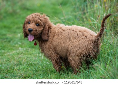 A cockapoo puppy standing still for a moment during a play session in the garden