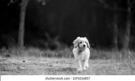 A cockapoo puppy walking on rough grass. tongue showing. sandy curly haired dog walking in a field, park, meadow or forest. one paw of the ground