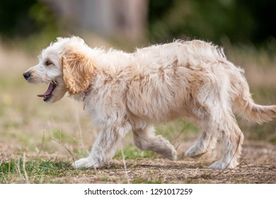 A cockapoo puppy walking and yawning on rough grass. tongue showing. sandy curly haired dog walking in a field, park, meadow or forest. one paw of the ground