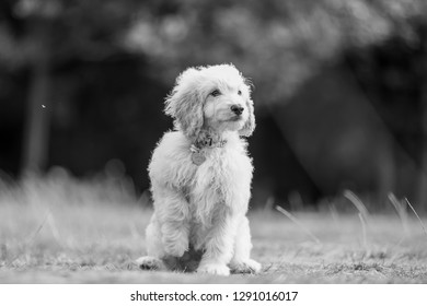 A cockapoo sitting in a field with one paw raised. A dog sitting in a field, park, forest or meadow. collar with a pendant. curly fur