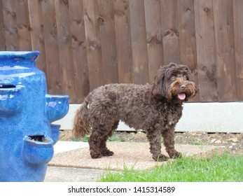 Cockapoo standing next to flower pot