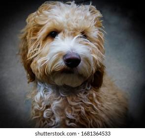 Cockapoo young dog headshot vignette