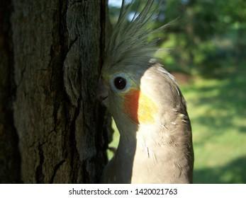 Cockatiel Against A Tree Close Up