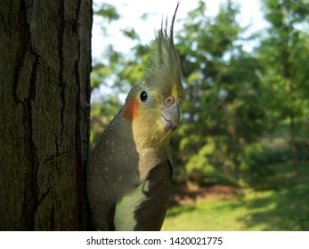 Cockatiel Bird Against A Tree