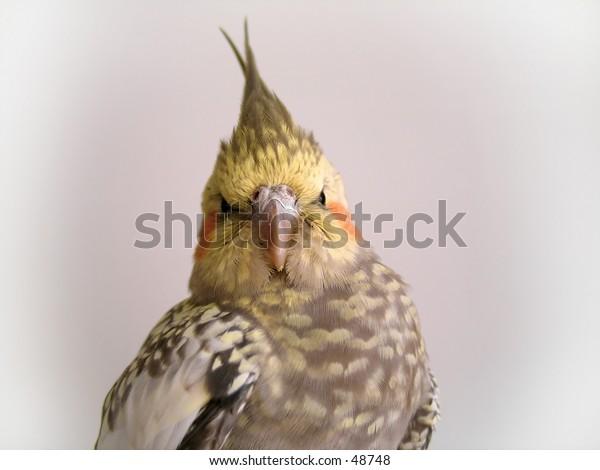 A cockatiel bird looking into the camera.