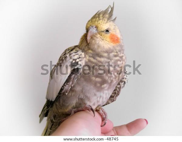 A cockatiel bird perched on a hand.