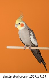 Cockatiel isolated on orange background, best parrot pictures. copy space