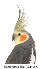 Cockatiel - Nymphicus hollandicus in front of a white background