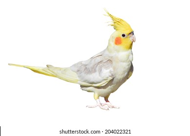 Cockatiel, Nymphicus hollandicus, isolated on white background