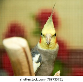 The cockatiel (Nymphicus hollandicus). The cockatiel, also known as the quarrion, is a bird that is a member of the cockatoo. The cockatiel is the only member of the genus Nymphicus.