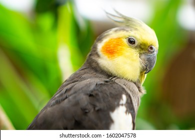 The cockatiel (Nymphicus hollandicus), also known as weiro bird, or quarrion, is a bird that is a member of its own branch of the cockatoo family endemic to Australia. They are prized as household pet