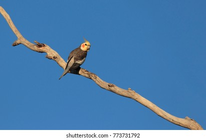 Cockatiel, Nymphicus hollandicus, perched on a dead branch with blue sky background and copy space