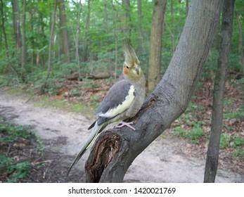 Cockatiel On A Slanted Tree