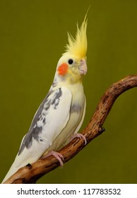 cockatiel parrot resting on a branch on green background