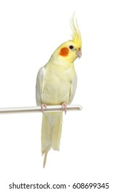 Cockatiel perched, isolated on white
