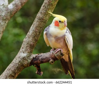 cockatiel perched on a tree with green background