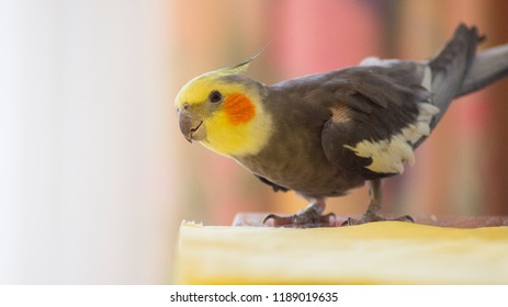 Cockatiel Portrait Bow Down