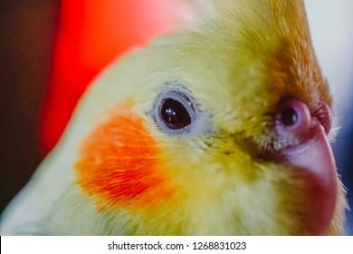 Cockatiel Portrait, Cute Curious Young Cinnamon Cockatiel Close up
