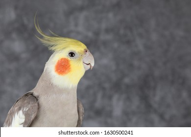 Cockatiel Portrait isolated on gray background, best parrot pictures. copy space