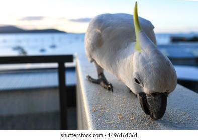 Cockatoo eating cake on the balcony