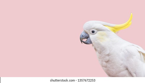 Cockatoo isolated head pink background