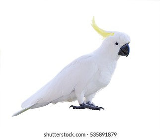 Cockatoo isolated on white