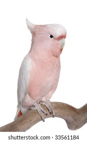 Cockatoo, Major Mitchell, Lophochroa leadbeateri, Australia, isolated on white