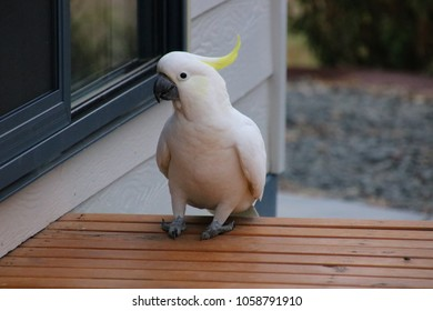 cockatoo on steps and picking at the window