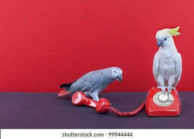 a cockatoo and a parrot talking on a red phone