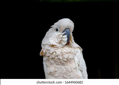 a cockatoo poses for the camera