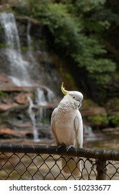 Cockatoo sit on a fance in of Katoomba Falls in Jamison Valley rainforest near  Katoomba at the Blue Mountains of New South Wale, Australia.