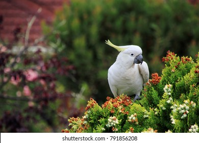 cockatoo sitting on pine tree, eating the seeds.