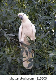 Cockatoo in tree