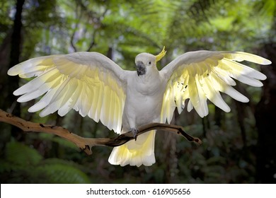 Cockatoo with wings spread, green background