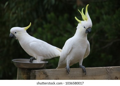 cockatoos have come for a feed