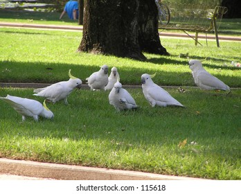 Cockatoos in park